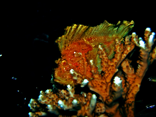 Leaf Frog Fish